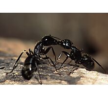 Ants Kissing Photographic Print