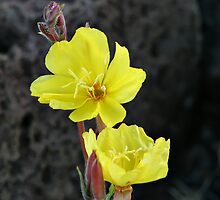 Haleakala Evening Primrose by Teresa Zieba