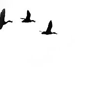 Ducks in flight by Empato Photography