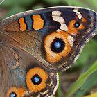 Buckeye Butterfly by Sam McCabe