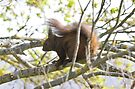 Gupole Red Squirrel 1 by David Clarke