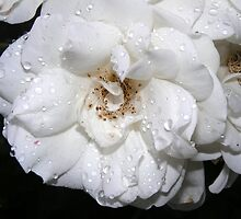 ROSE IN WHITE by gracestout2007