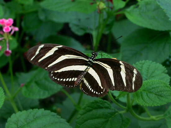 Zebra Wing Butterfly by ienemien