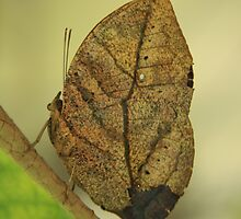 Dead Leaf Butterfly by noffi