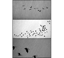 Ibis - Triptych Photographic Print