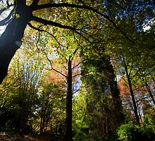 Autumn Foliage Mt. Wilson Blue Mountains 2 by MiImages