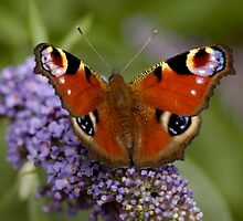 peacock butterfly by laurav