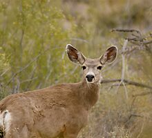 DEER BEAUTY by Bonnie Pelton