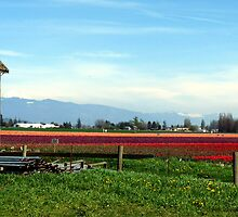 Tulip Festival Fields of Glory by Rick Lawler