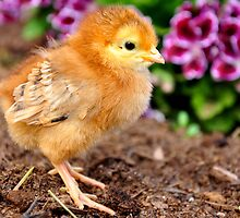 Baby chick by Jeannie Peters