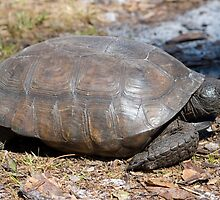 Gopher Tortoise by Donna Adamski