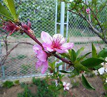 peach flowers by costy33