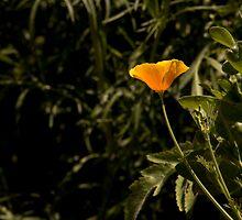 California Poppy in Full Bloom  by Buckwhite
