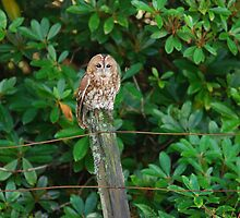 tawny owl by stewarty