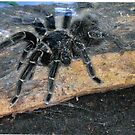 Tarantula Spider! by sunsetgirl