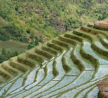 Rice/Padi Field, Sapa, Vietnam by emmettm