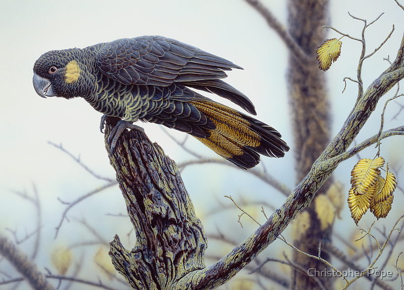 Yellow-tailed Black Cockattoo by Christopher Pope