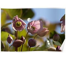 Clematis. Poster