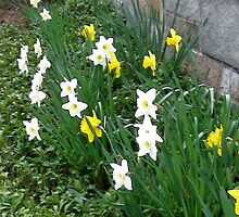 PRETTY DAFFODILS by pinkster