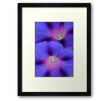 Purple and Pink Colored Morning Glory Flowers Closeup Framed Print