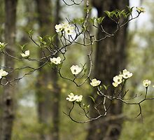 Dogwood by Marjorie Smith