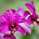 Purple Orchid and Droplets by Teresa Zieba