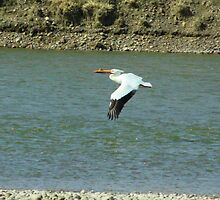 American White Pelican by tuffcookie
