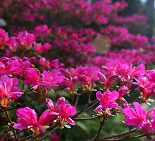 Azalea with flare by Anthony Thomas