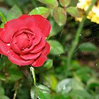 Red Rose with Spider Web by LNara