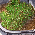 Succulent in a Planter by bernzweig