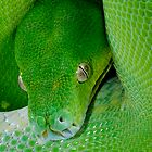 Green Tree Python [Morelia viridis] by Shannon Plummer