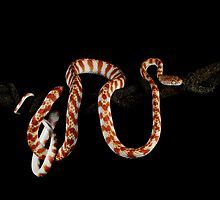 Northern Brown Tree Snake (Boiga irregularis) by Shannon Benson