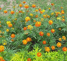 A bed of beautiful yellow and orange marigolds by ashishagarwal74