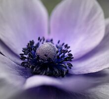 Spring - Faded Anemone  by rabeeker