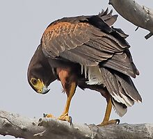 050209 Harris Hawk by Marvin Collins
