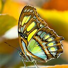 malachite butterfly by peterwey