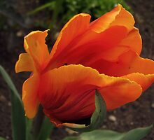 Tulip, Orange by tonymm6491