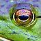 Eyes in Macro