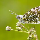 Male Orange-tip Butterfly by Neil Bygrave (NATURELENS)