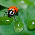 Ladybug Drinkin by DavidBerry