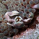 Handicapped Porcelain Crab by Marcel Botman
