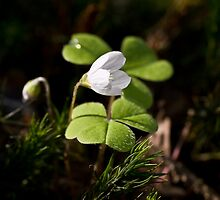 wood sorrel. by Sabine Steinmüller