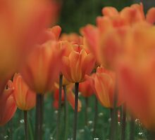 Hiding at the back is ......a tulip by Justine Humphries