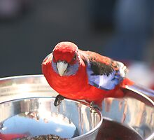 Crimson Rosella Feeding by Tim Miller