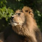Asiatic Lion by Franco De Luca Calce