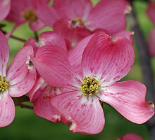 Pink Dogwood by Sandy Keeton