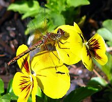 Striped Meadowhawk Dragonfly on a Pansy  by Chuck Gardner