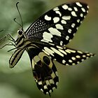 THE CITRUS SWALLOWTAIL- Papillio demodocus by Magaret Meintjes