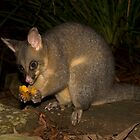 Black Tailed Possum by emmettm