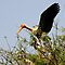 Painted Storks by AravindTeki